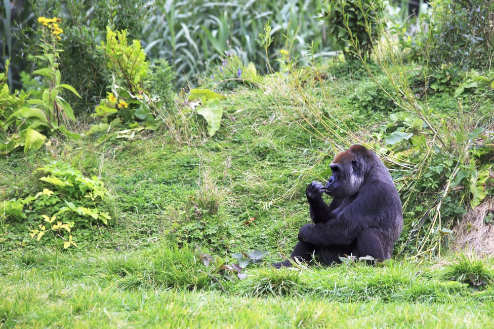 Western lowland gorilla at Dublin Zoo, one of the oldest zoos in Europe