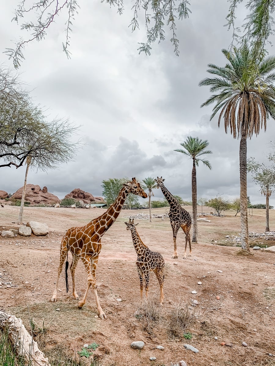 A family of giraffes at the Phoenix Zoo