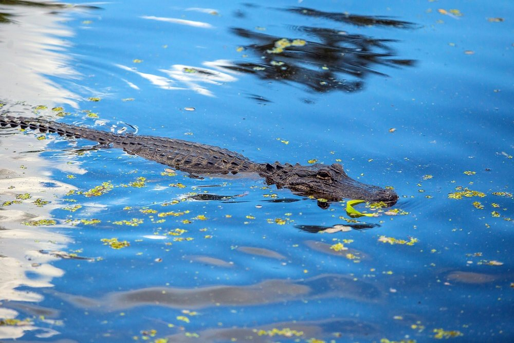 Alligator in New Orleans swamp Louisiana