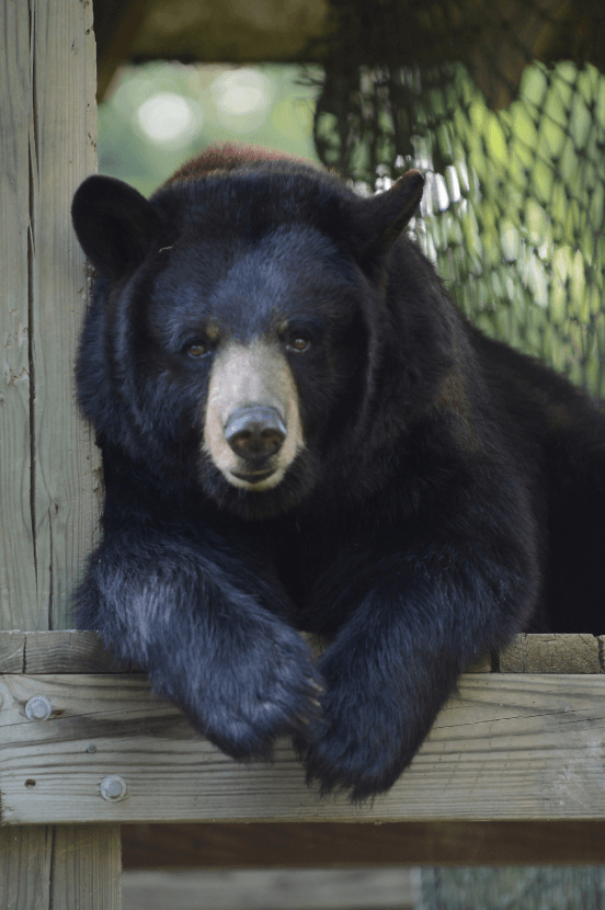 Black bear in the Louisiana Swamp Exhibit at the Audubon Zoo in New Orleans