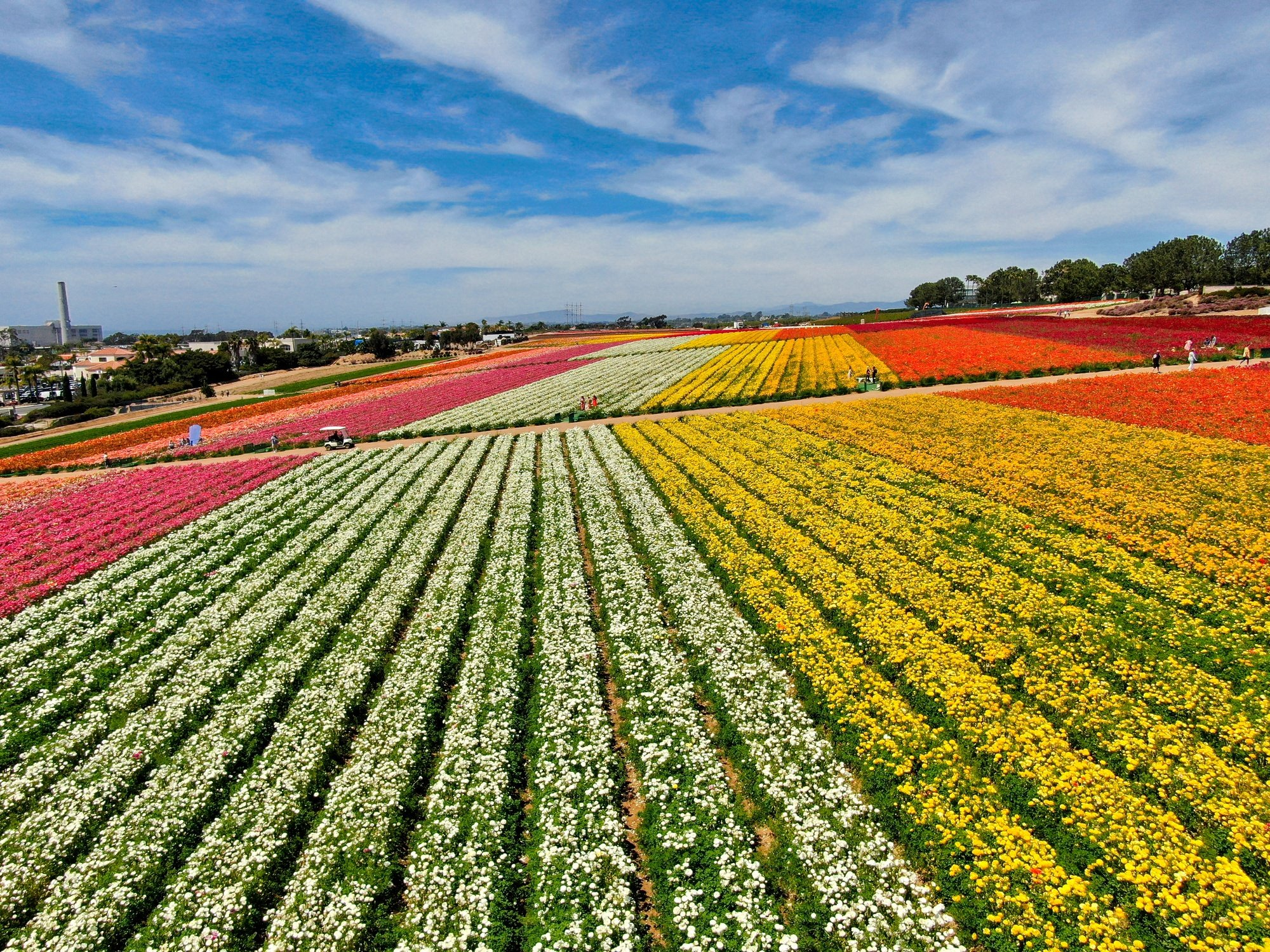 Carlsbad Flower Fields in San Diego County