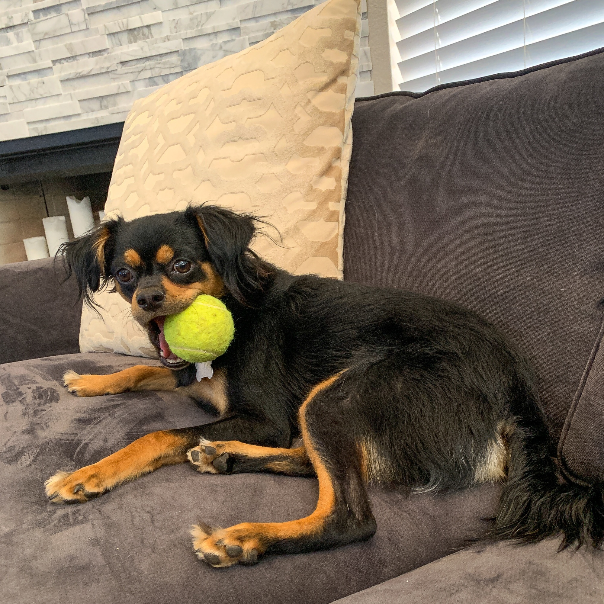 Lapdog with ball at home