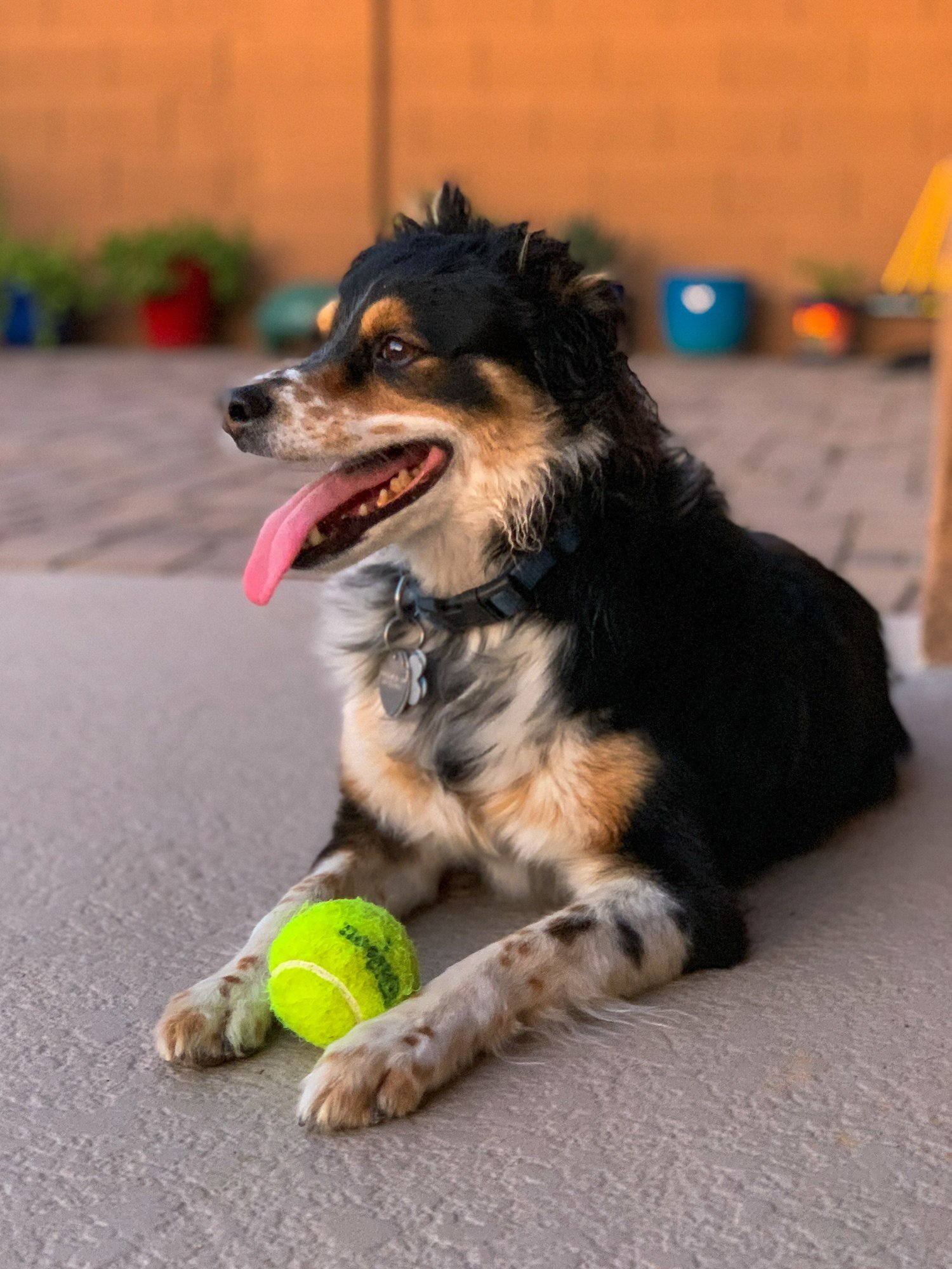 Dog in backyard with ball