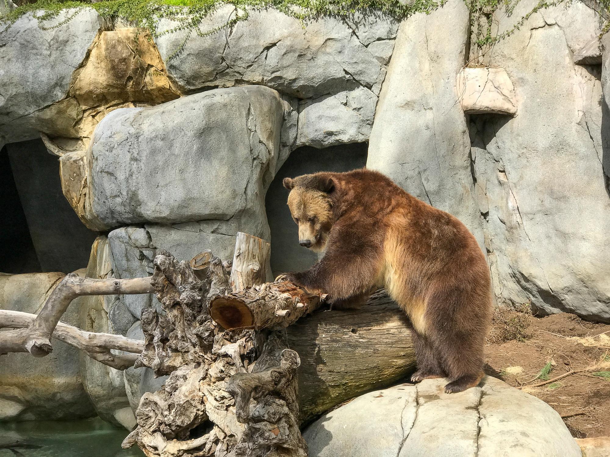 San Diego Zoo bear
