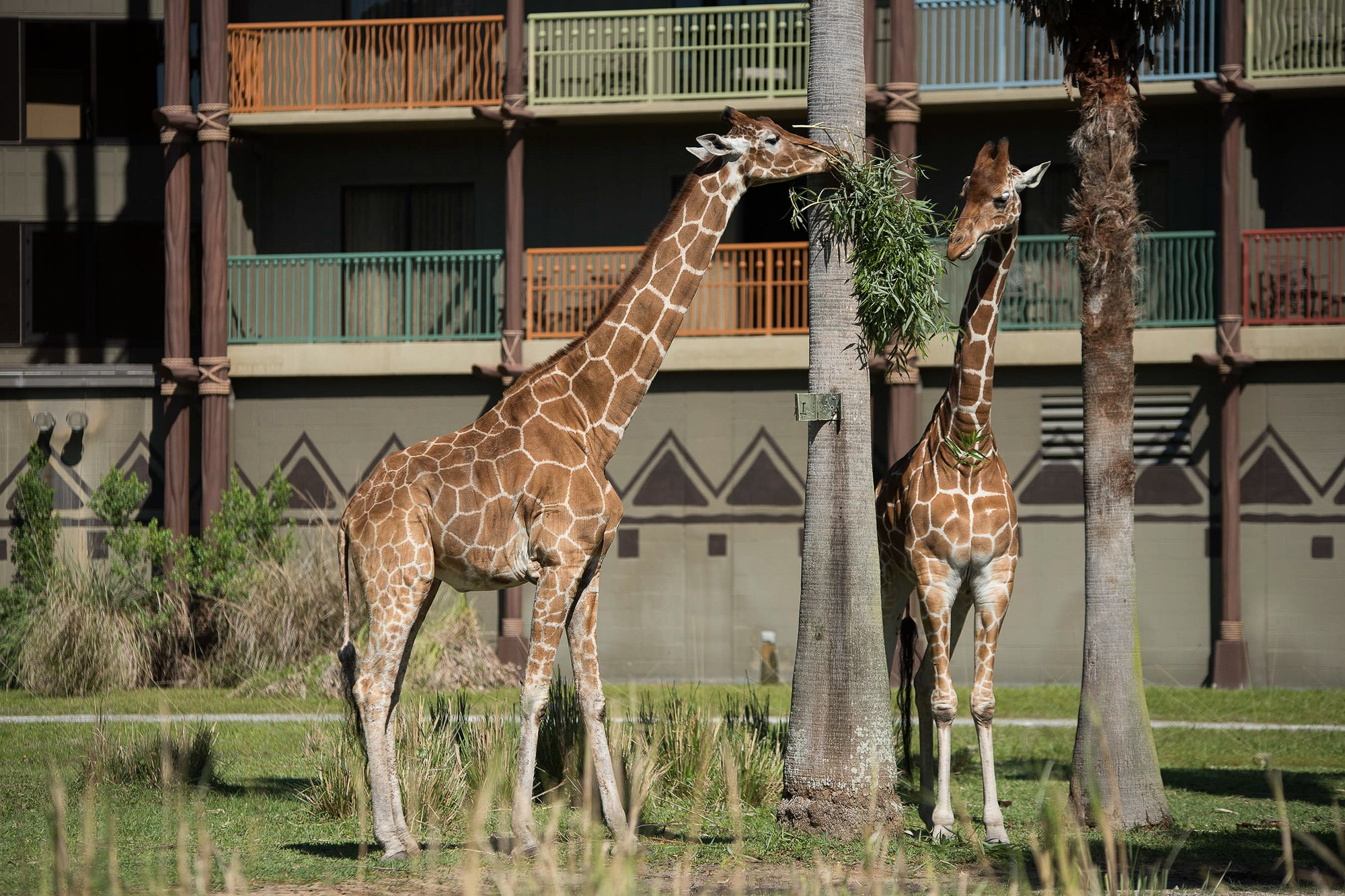 Giraffes wandering the grounds at Disney's Animal Kingdom Lodge