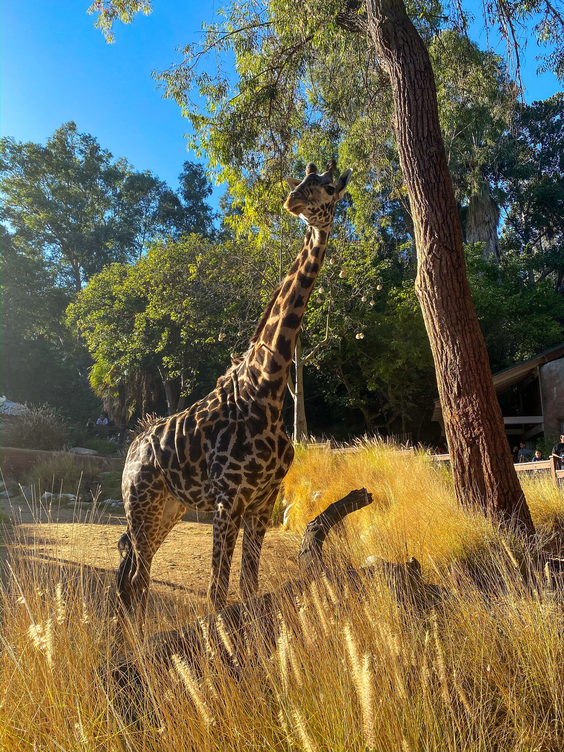 Giraffe at the Los Angeles Zoo