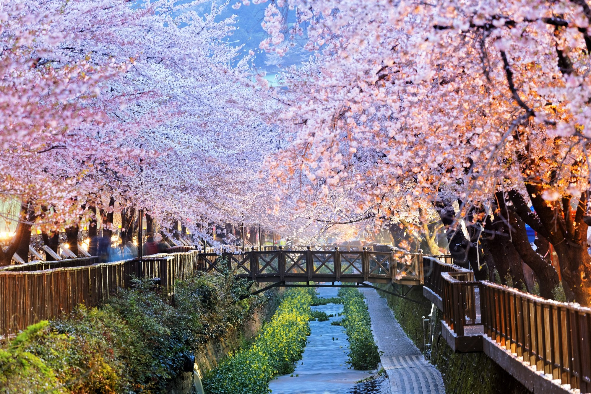 Cherry blossoms in Busan, South Korea