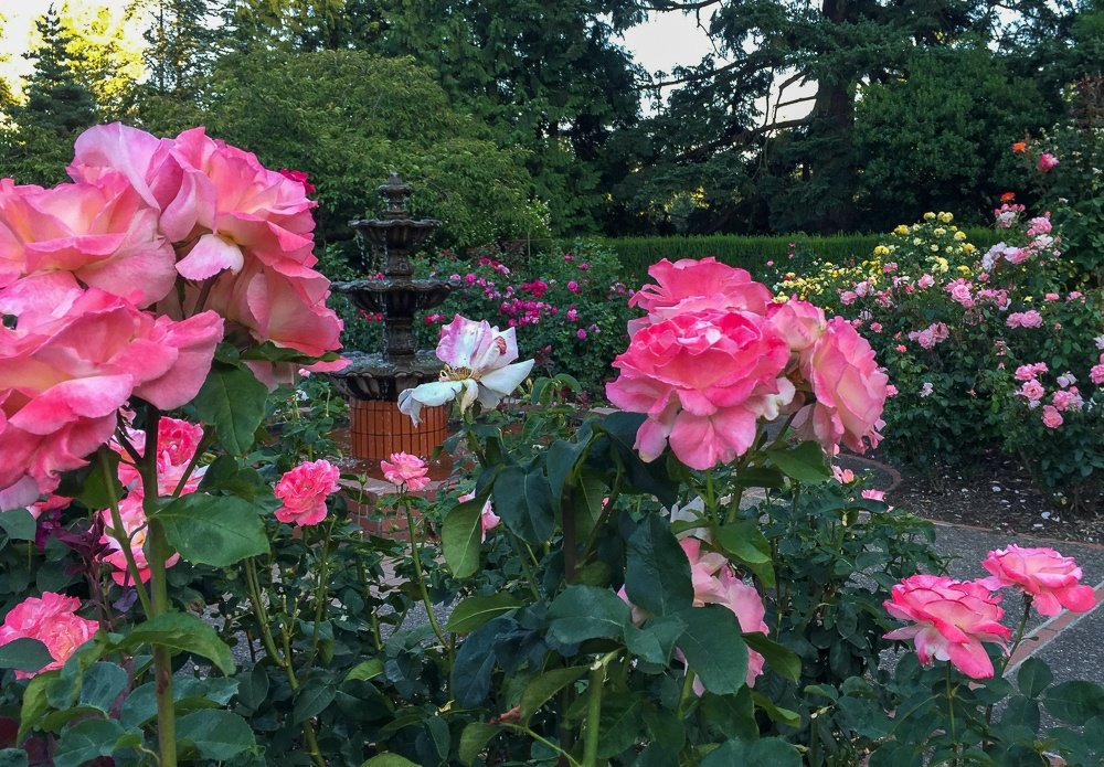 International Rose Test Garden