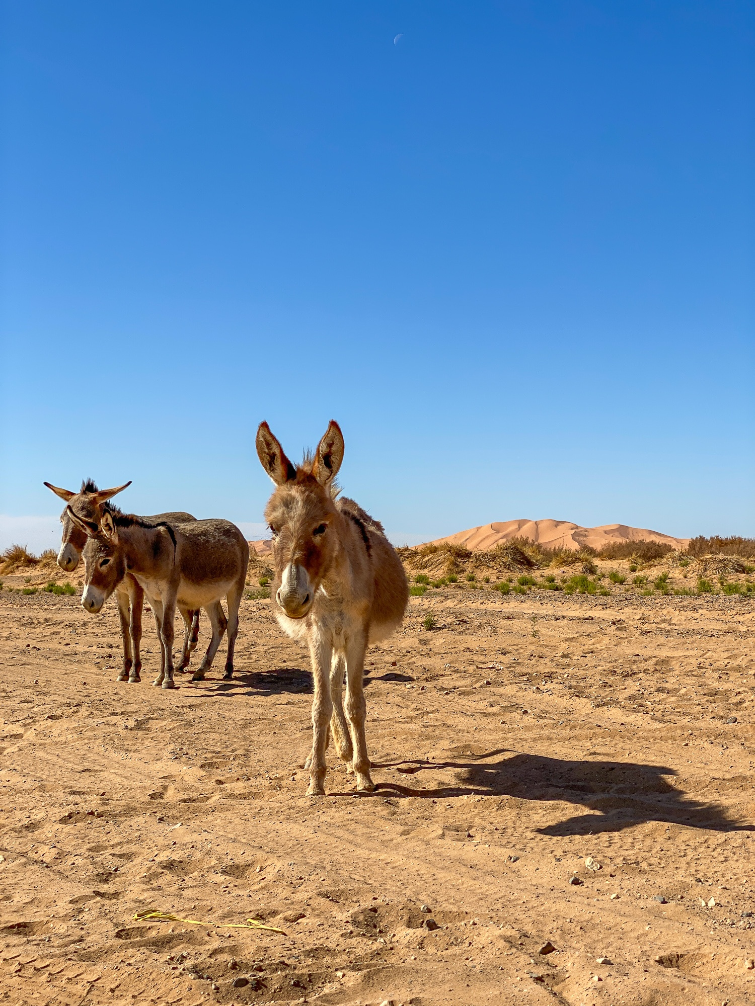 Donkeys in the Sahara Desert in Morocco