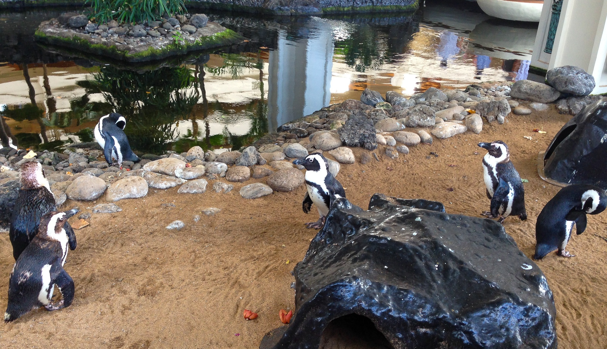 Warm weather penguins at Hyatt Regency Maui