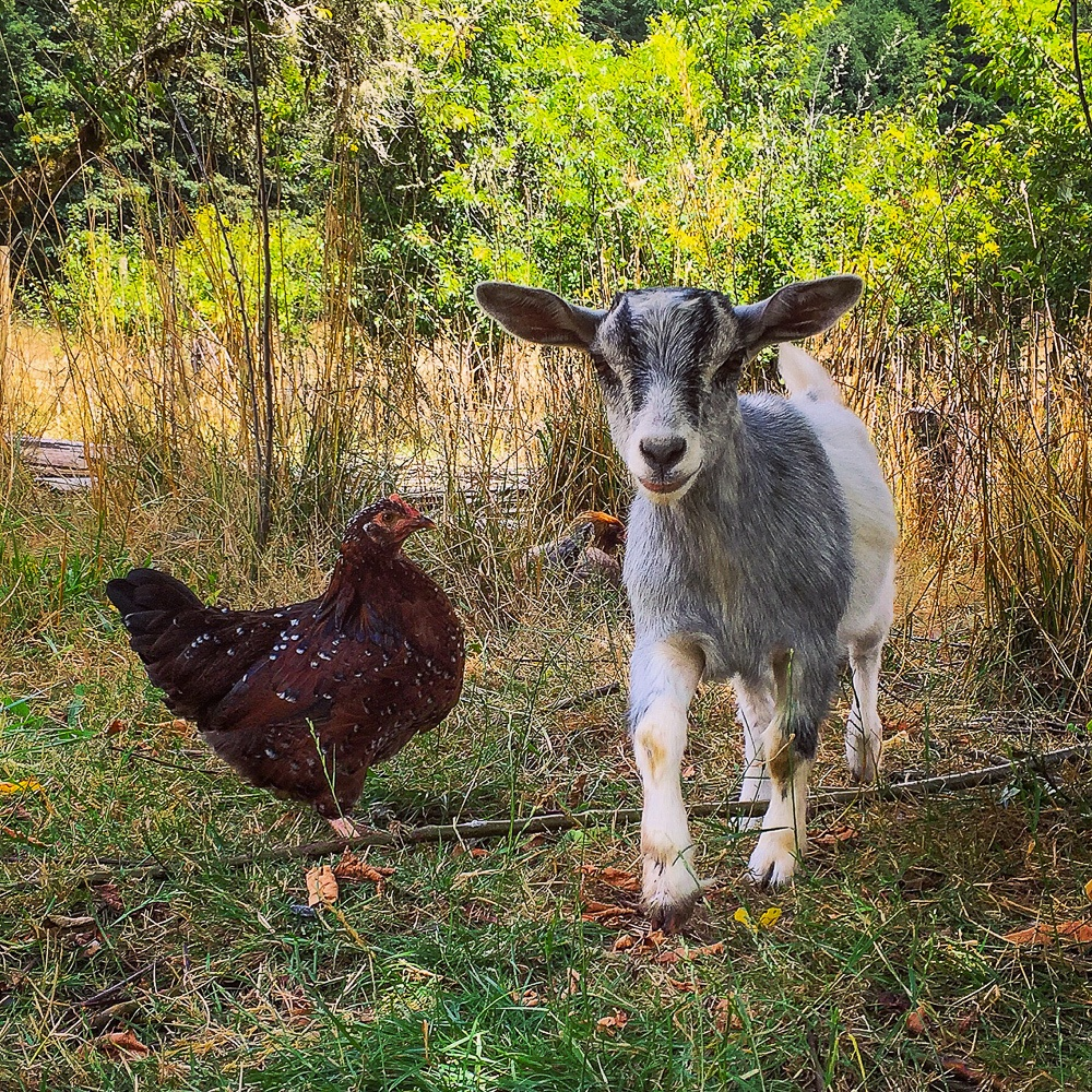 A hen and a baby feinting goat on a farm stay vacation