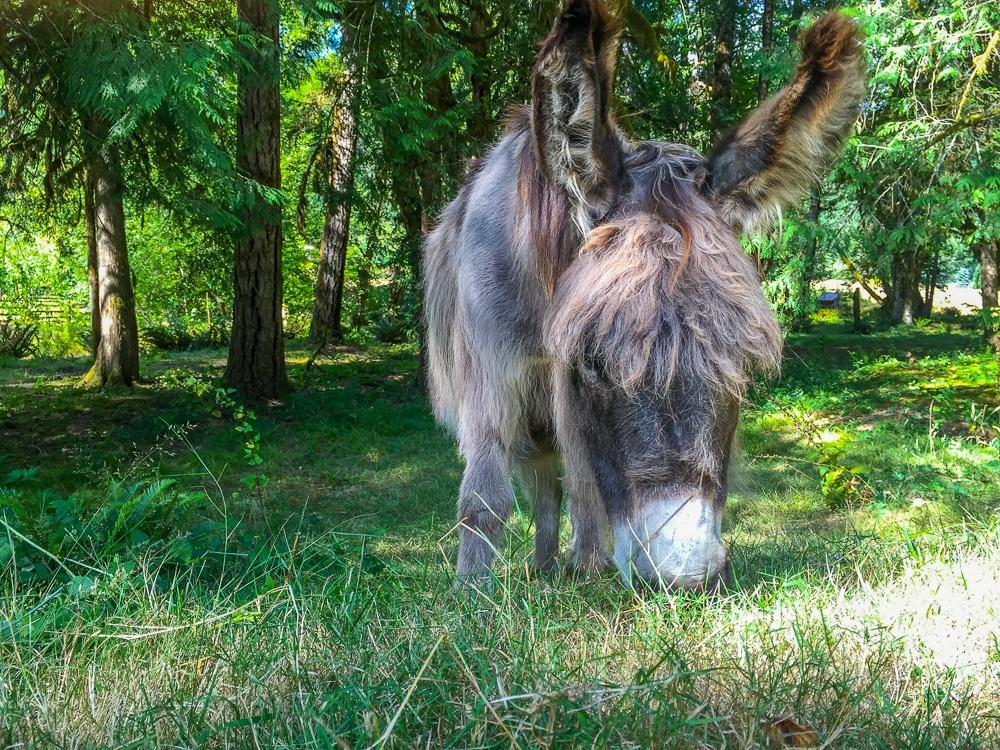 Paco the Donkey on Leaping Lamb Farm