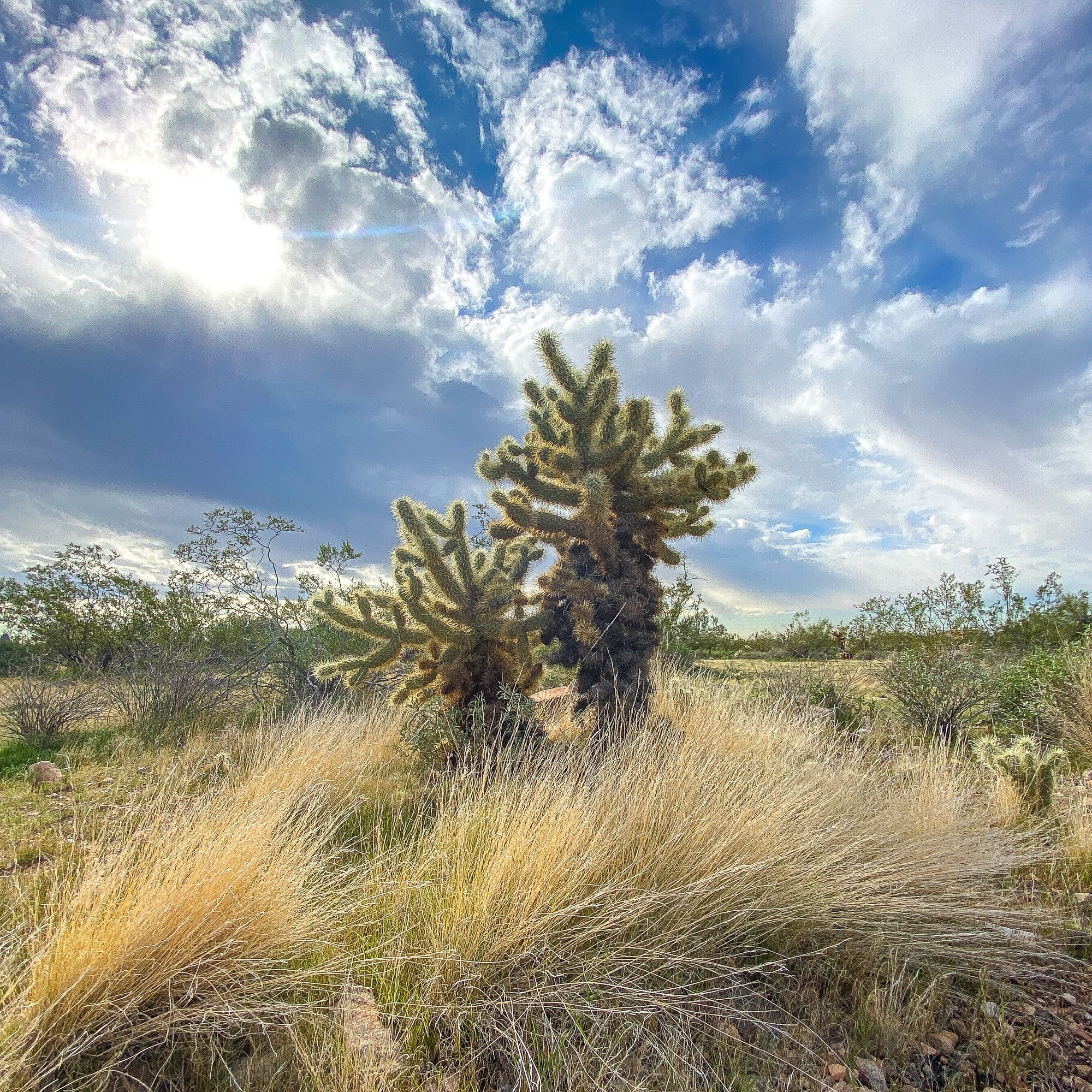 Cholla cactus in the McDowell Mountain Preserve in Scottsdale, Arizona