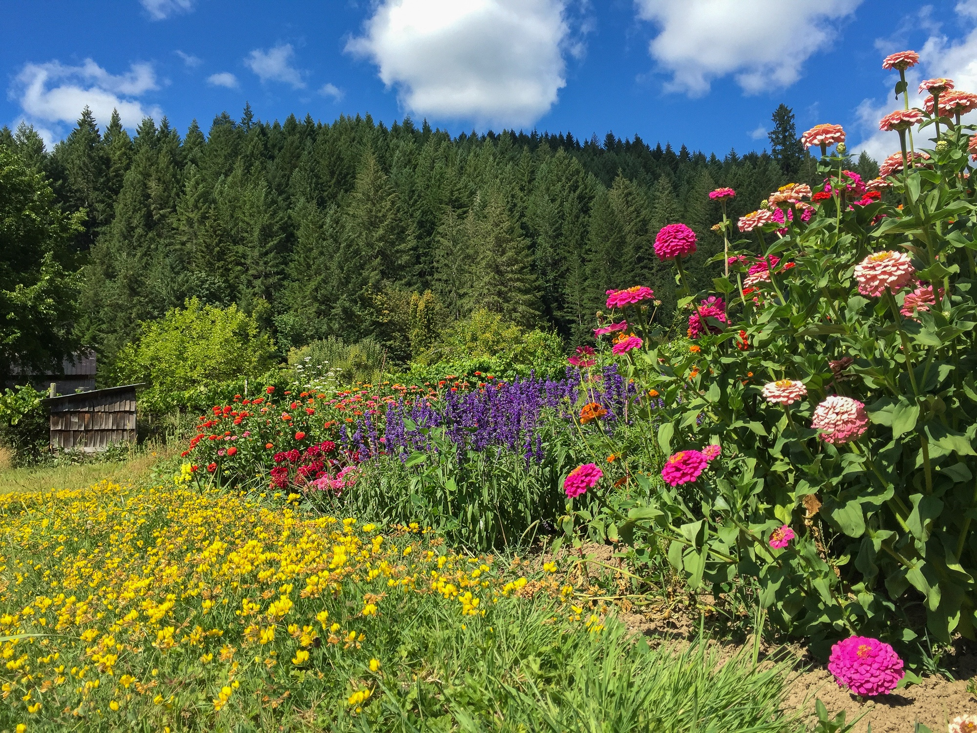 Flower garden view from Leaping Lamb Farm in Alsea, Oregon