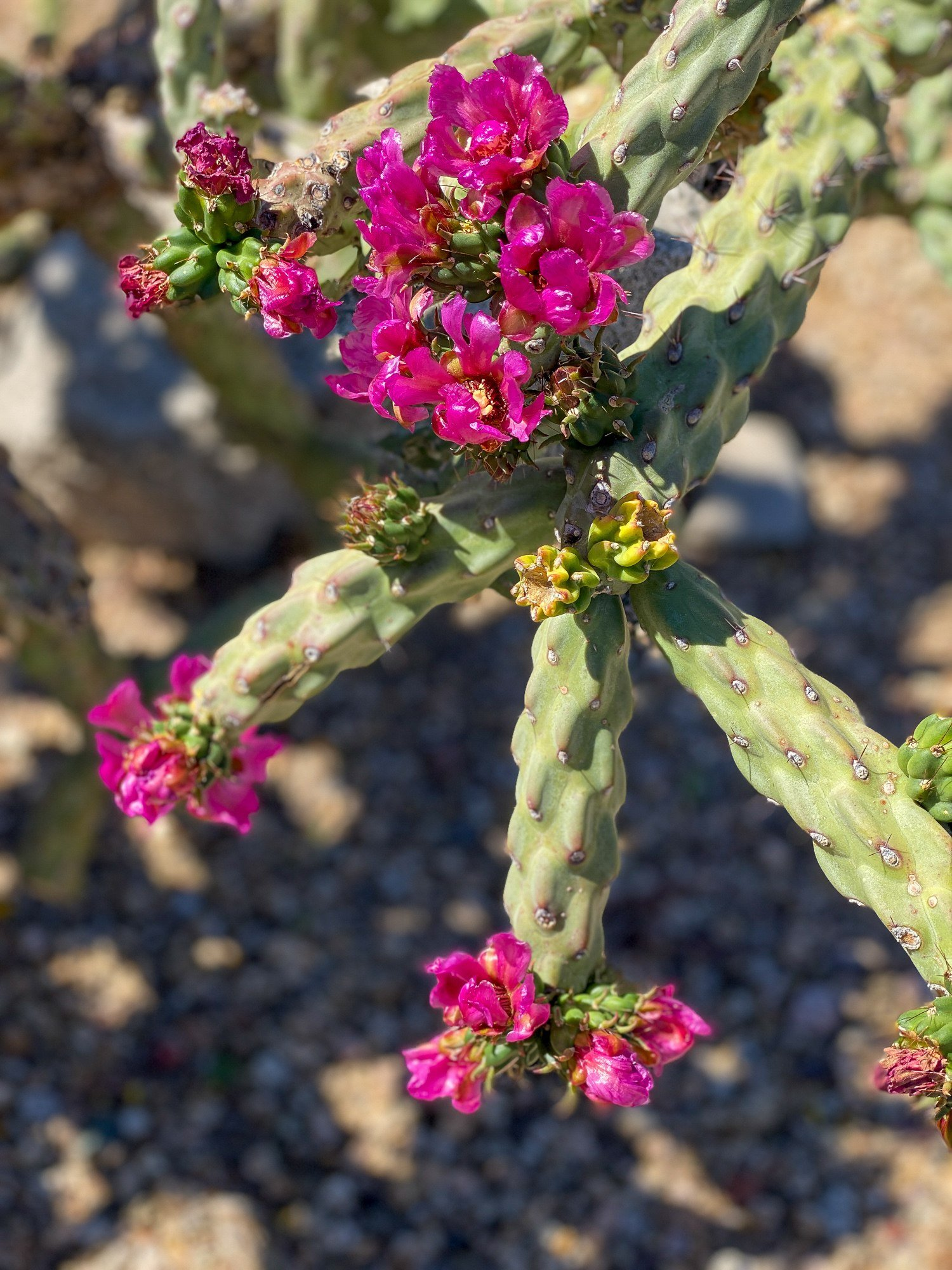 Flowering spiny cholla cactus in Arizona