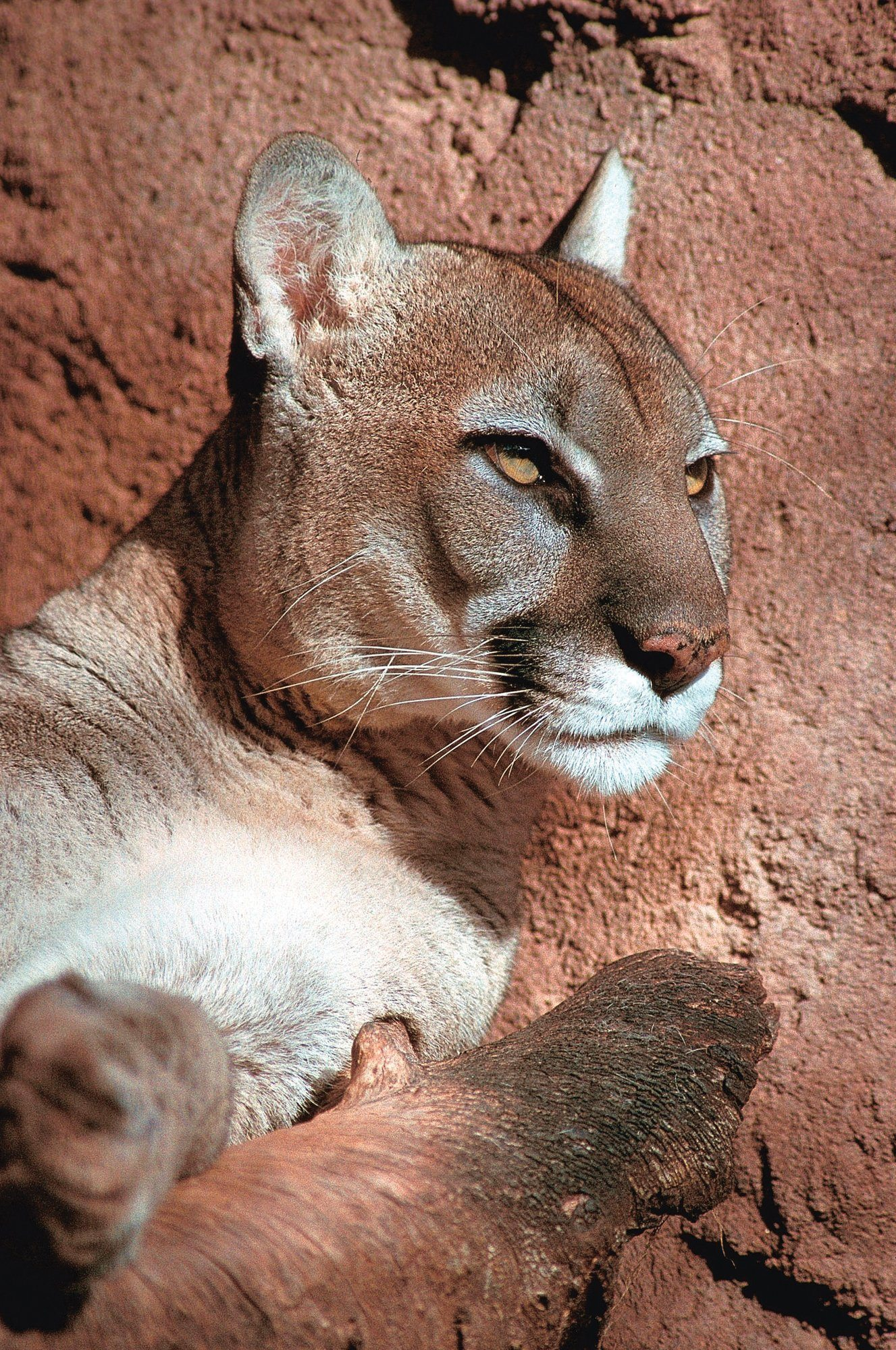 Mountain lion at the Phoenix Zoo