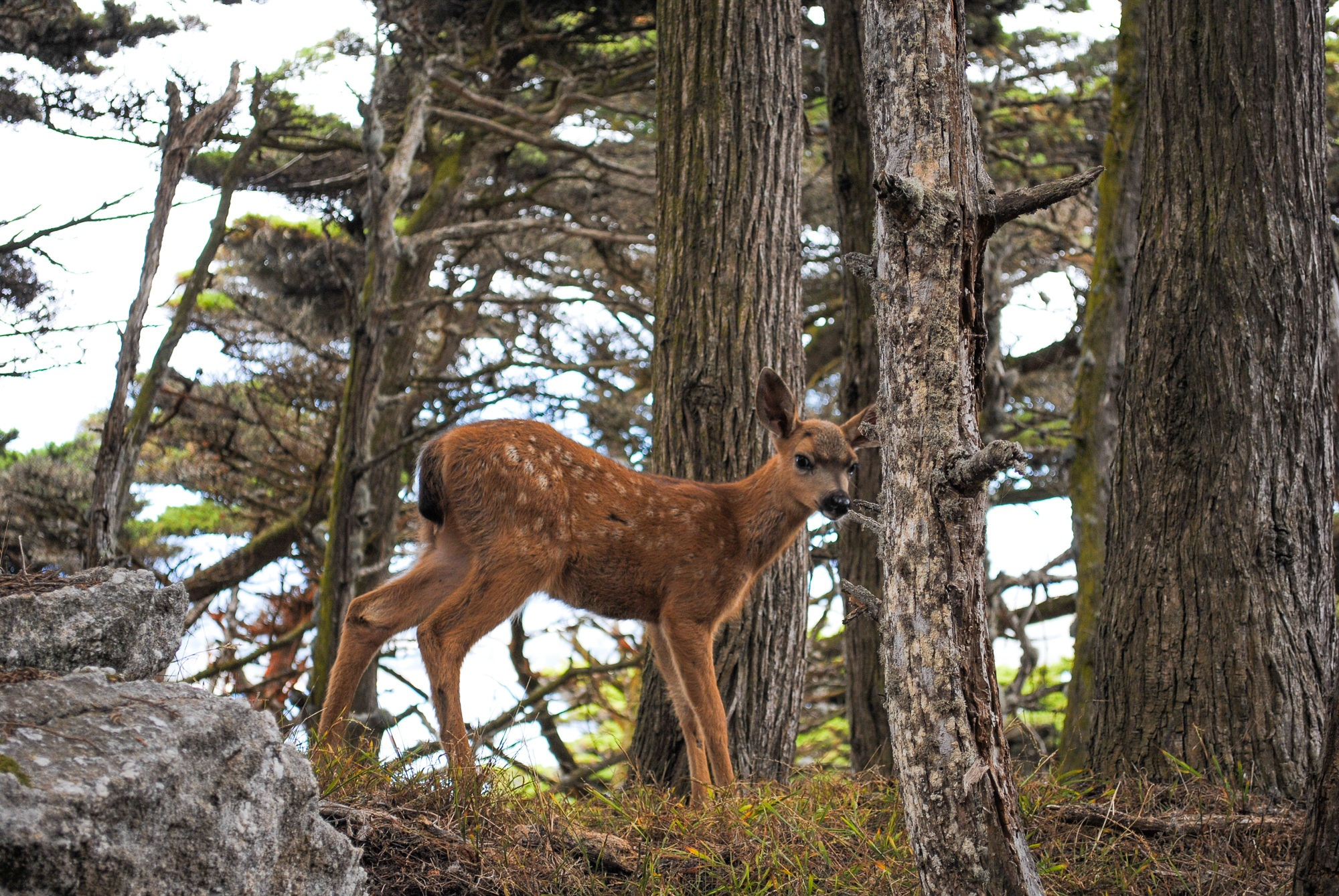 Fawn at Point Lobos State Reserve