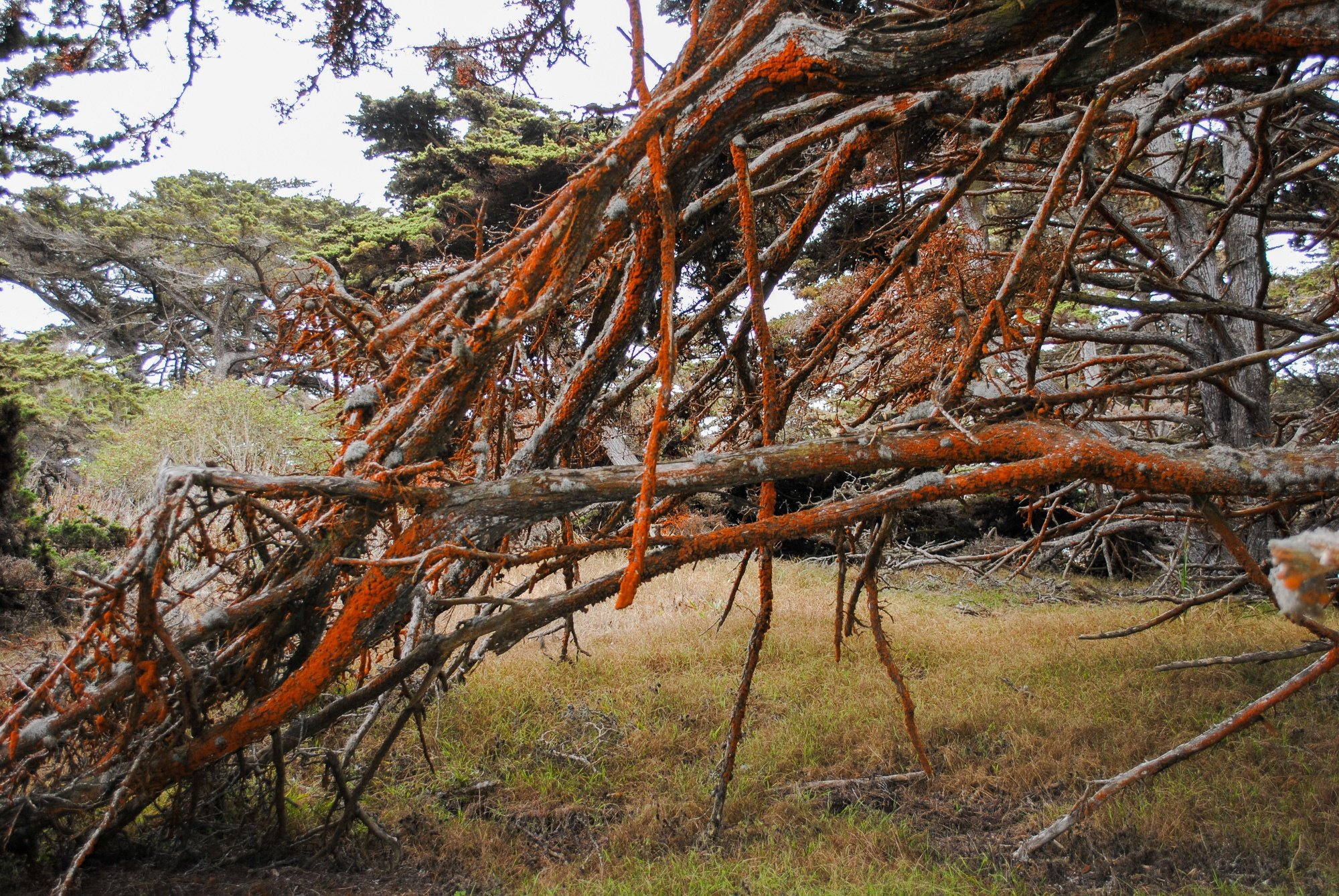 Orange moss growing on Point Lobos Reserve trees