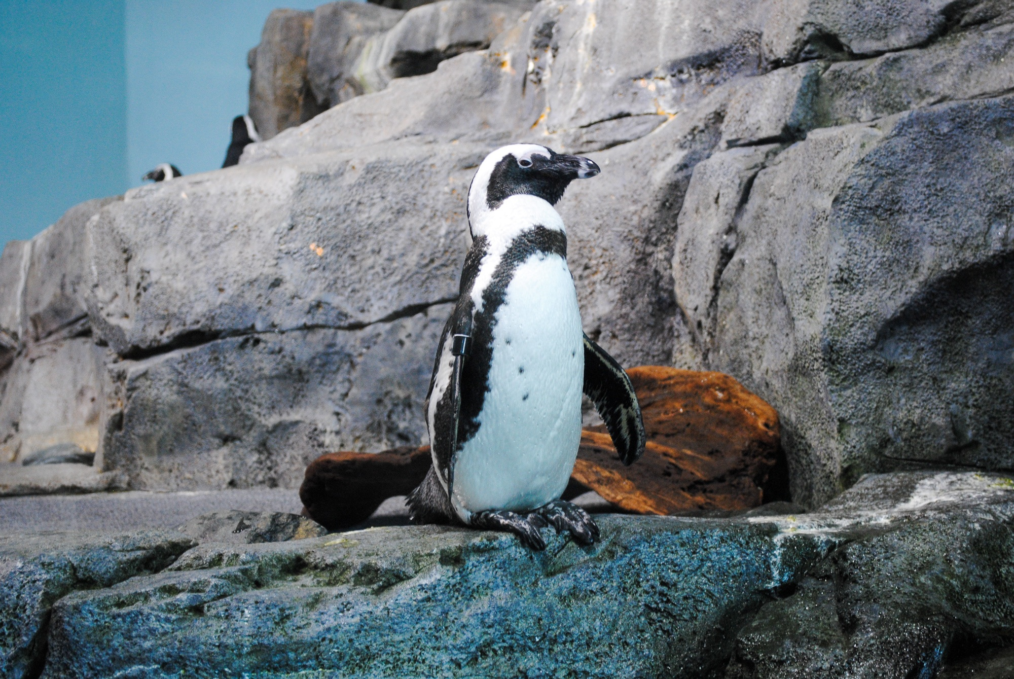A penguin at Monterey Bay Aquarium