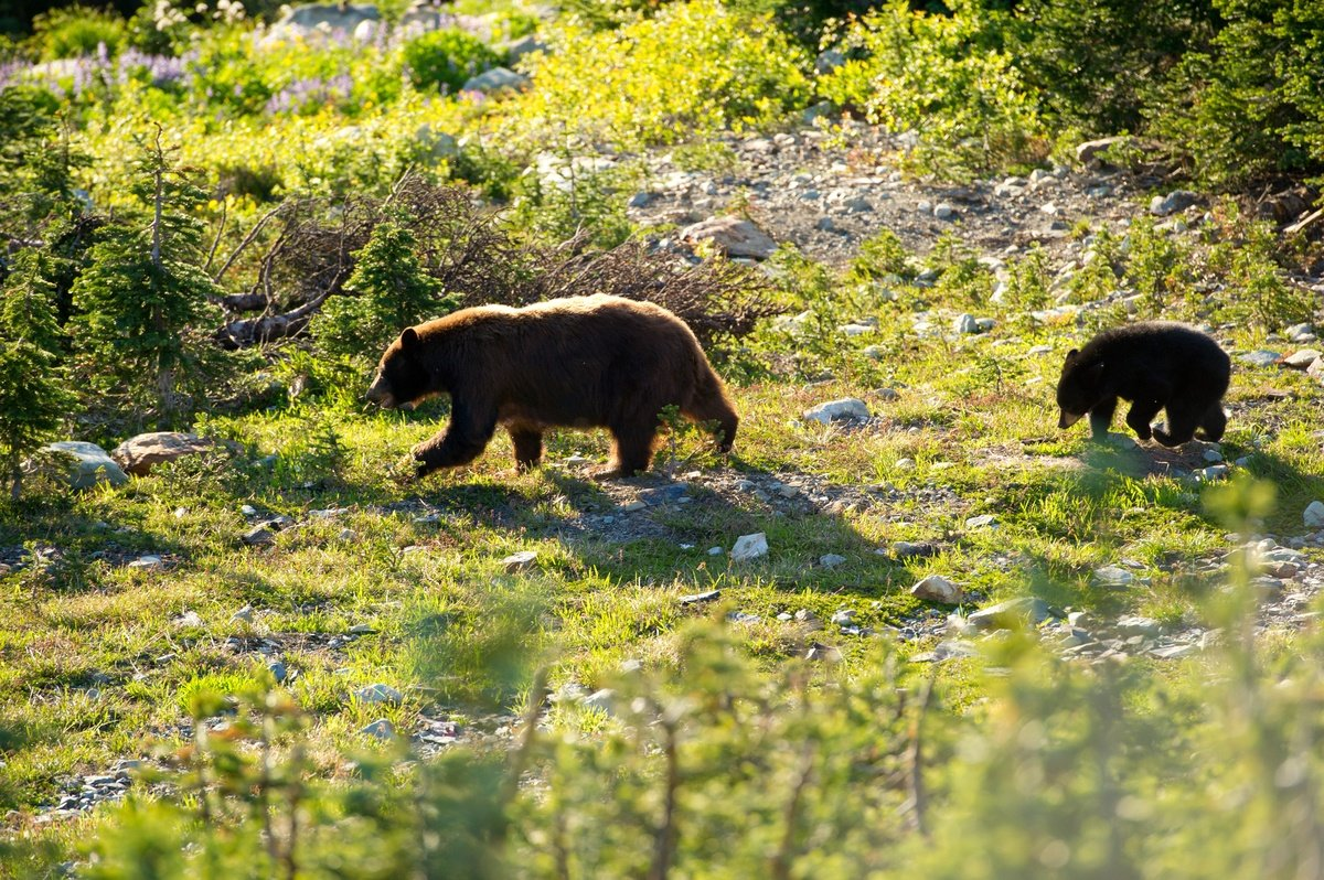 Black bear and cub in Whistler