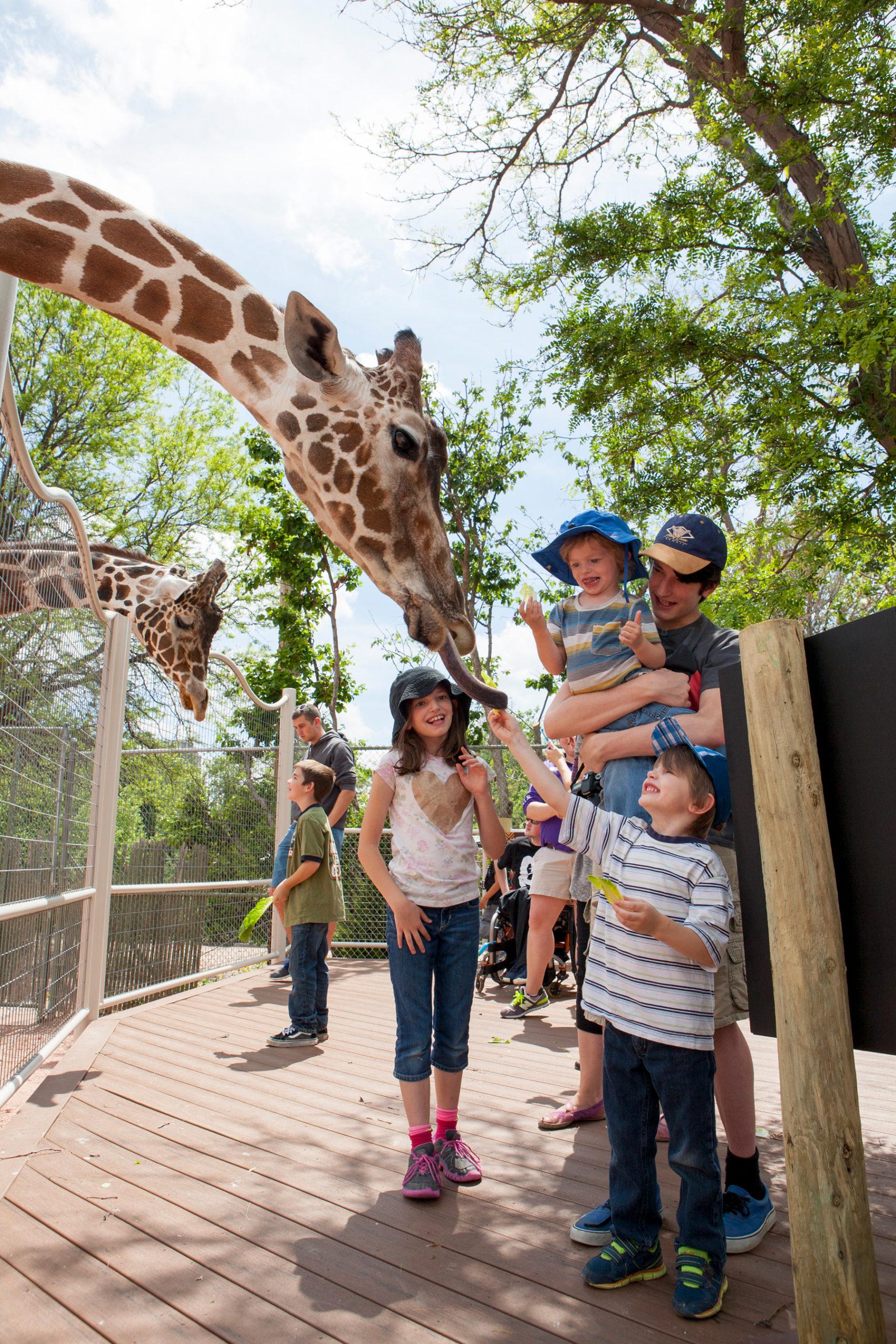 Feeding giraffes at the Denver Zoo