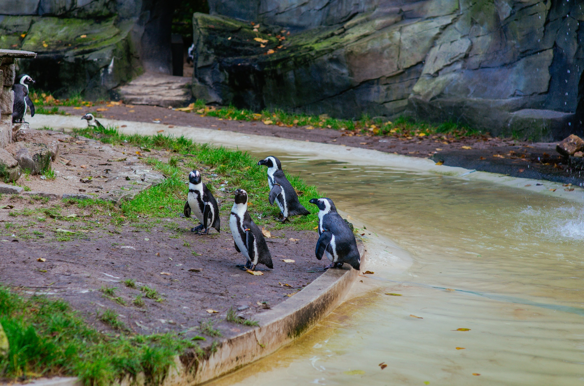 Penguins at the Artis Royal Zoo in Amsterdam