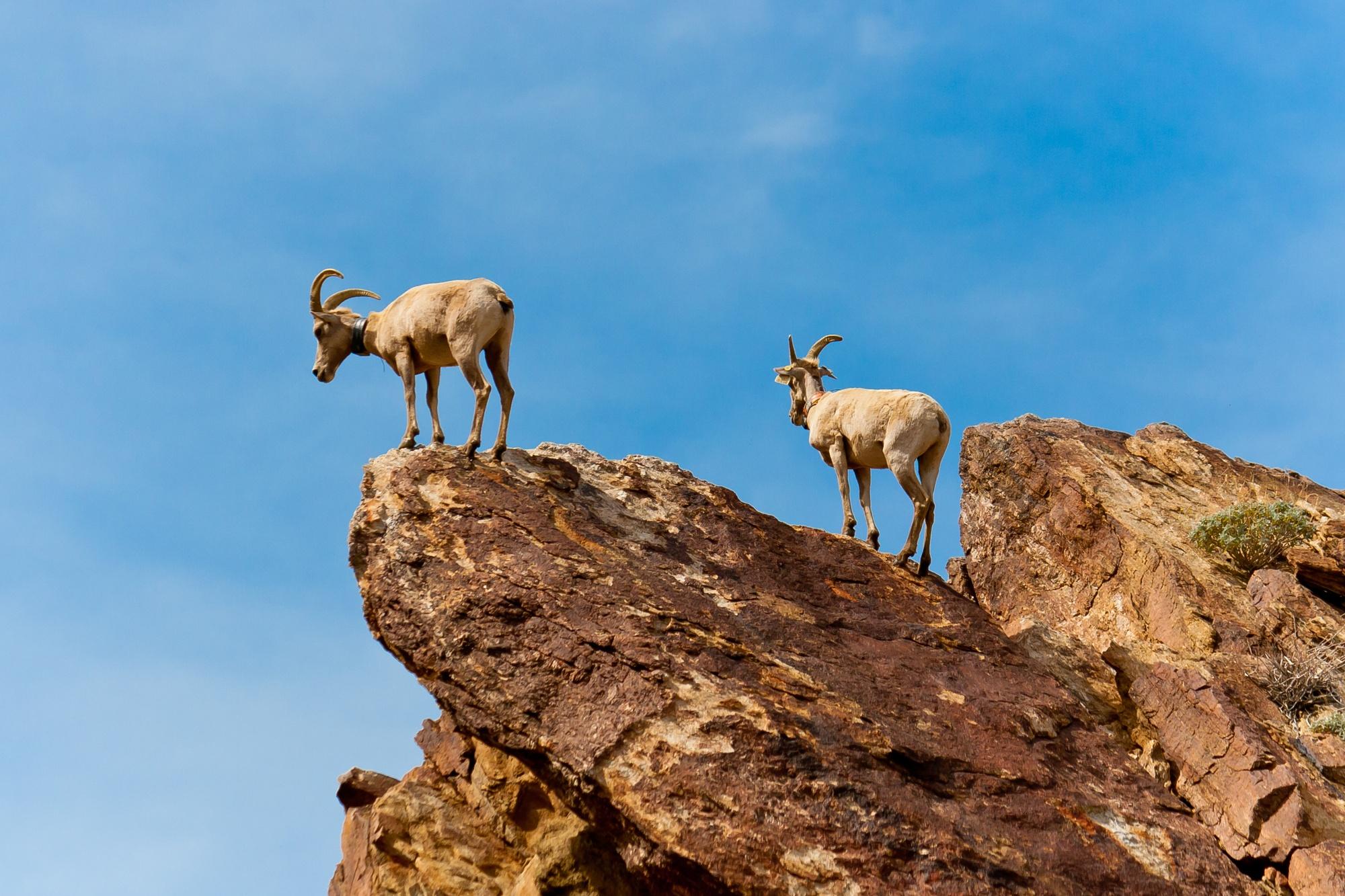 Desert Bighorn Sheep in Anza Borrego Desert State Park