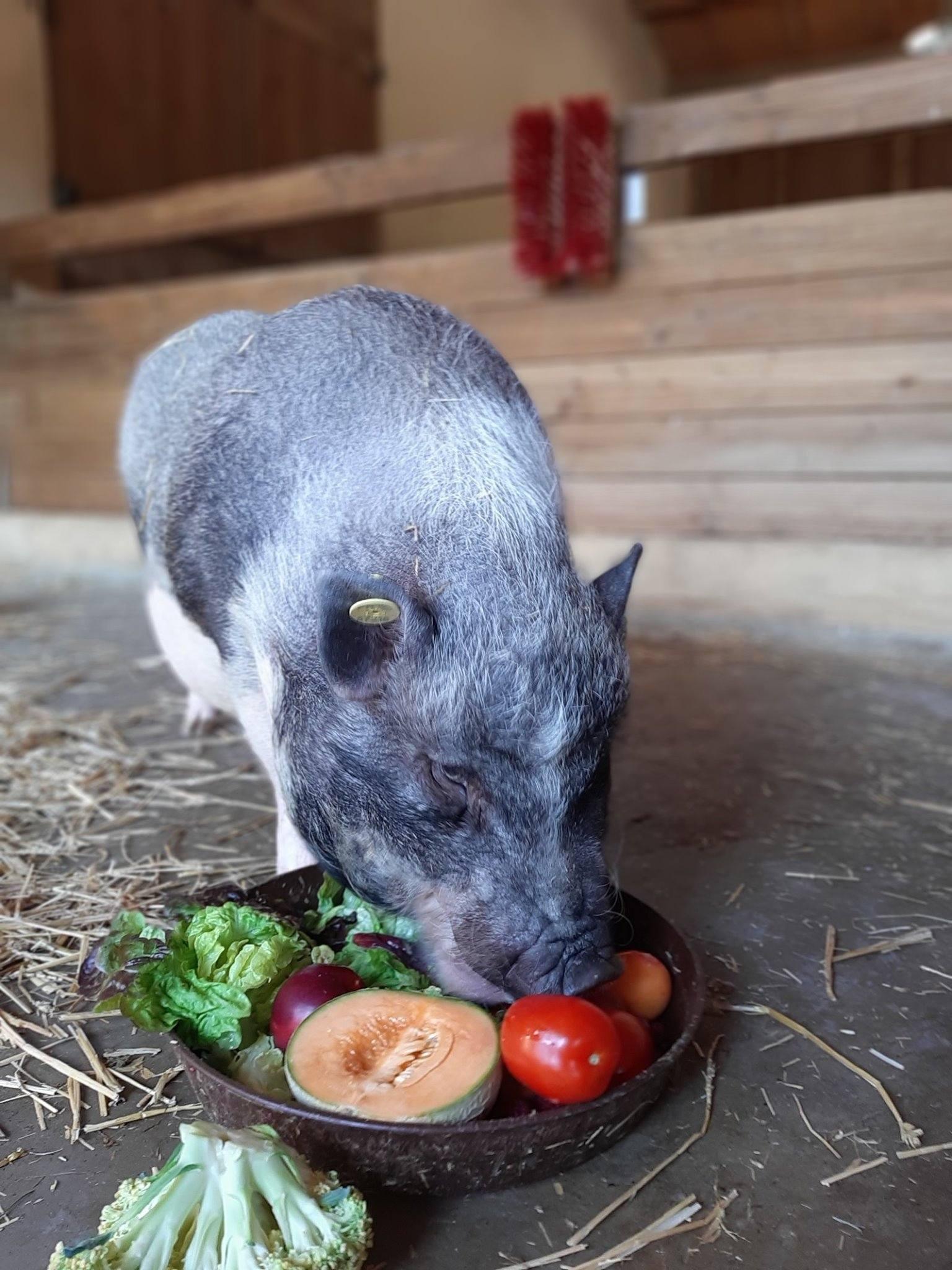 Pig at Children's Farm