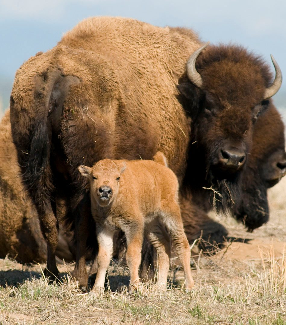 Bison at Rocky Mountain Arsenal National Wildlife Refuge