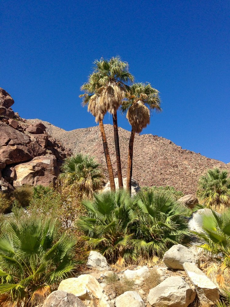 Palm Oasis prize at the end of Palm Canyon Trail hike in Anza-Borrego Park