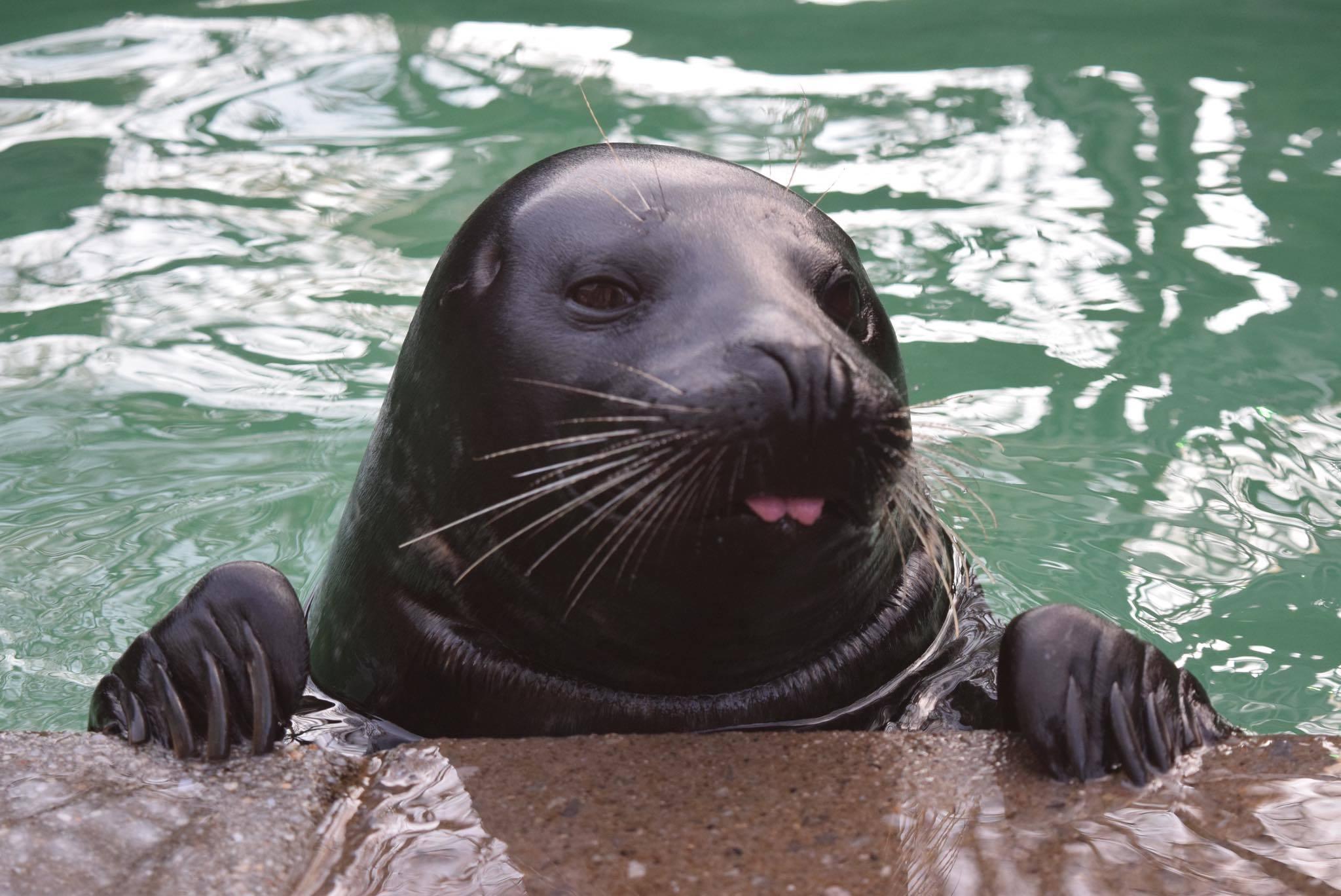 Lumiere the harbor seal at Aquarium of Niagara