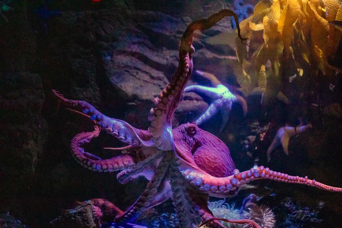 Octopus at Birch Aquarium at Scripps