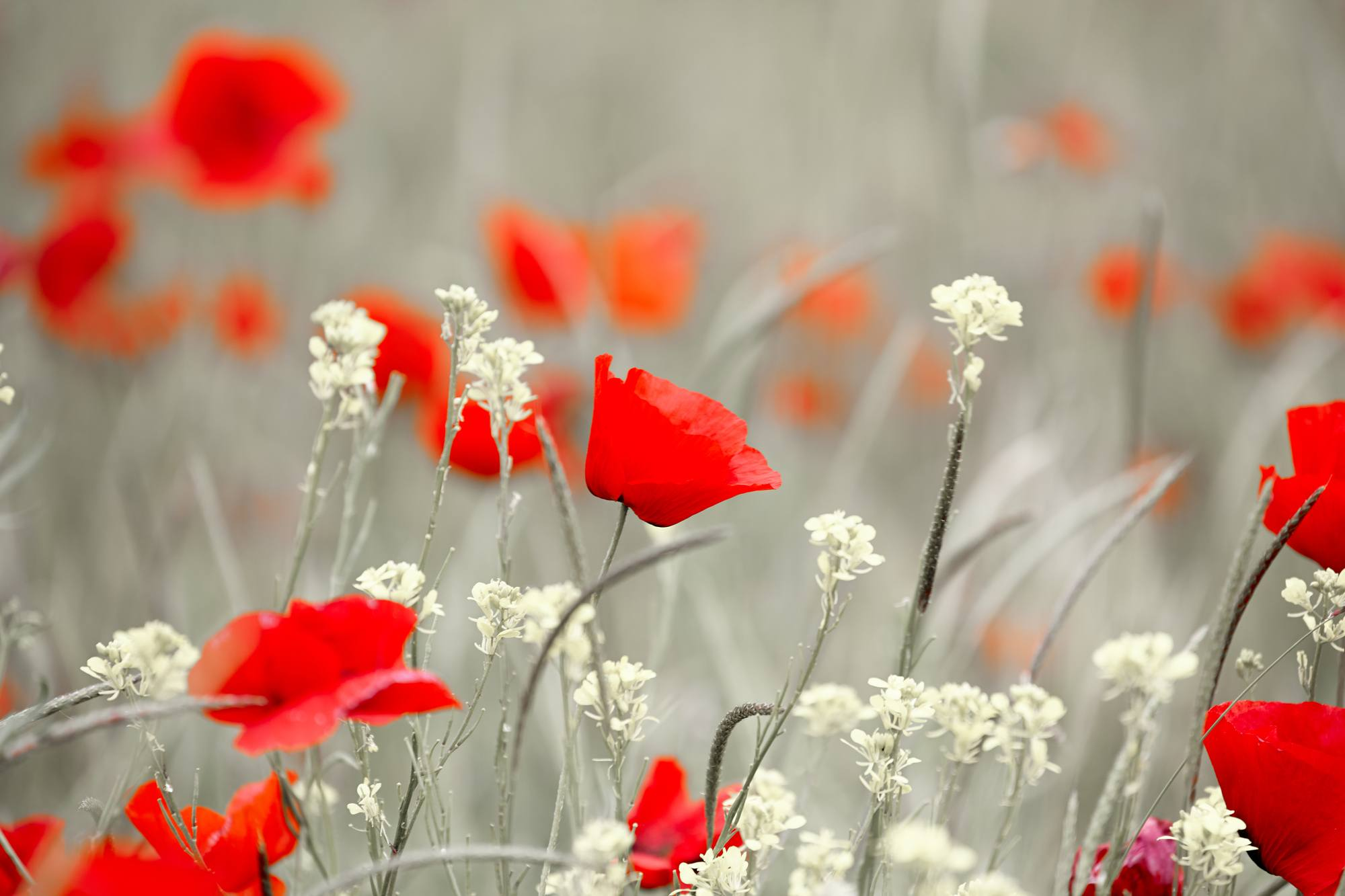 Poppies represent World War I and are strongly linked to Remembrance Day on November 11