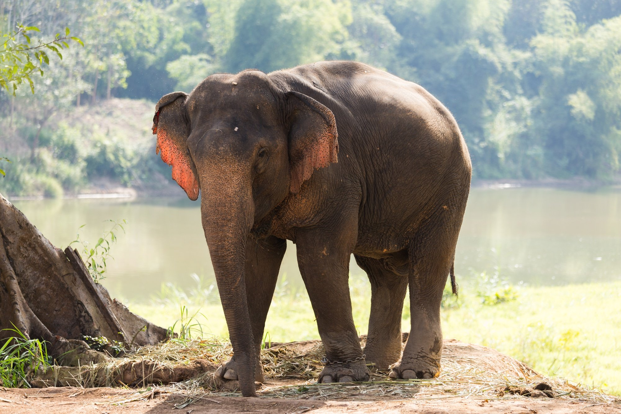 The elephant is the National Animal of Laos