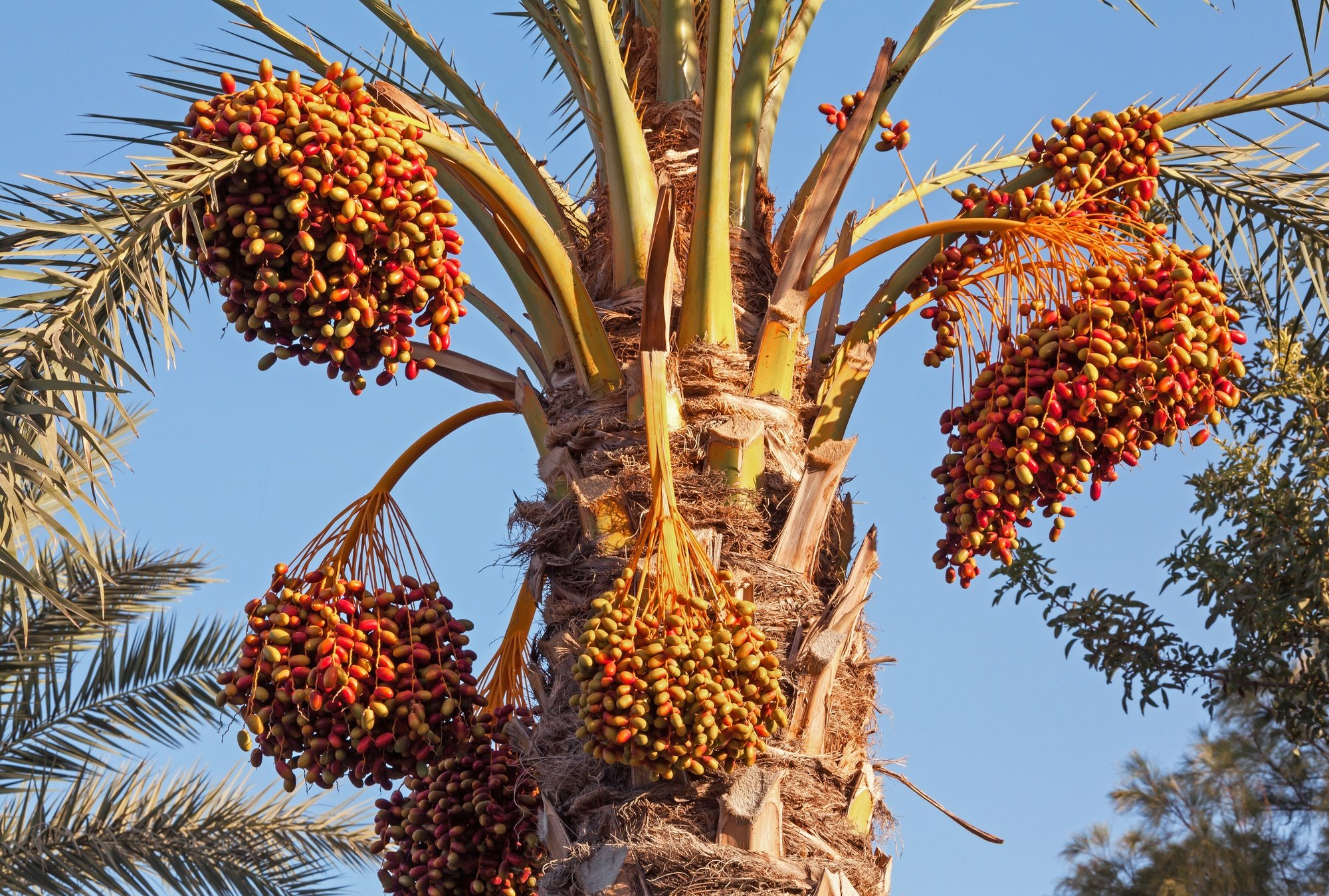Date palm with ripe dates