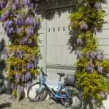 Bicycle surrounded by wisteria in Basel, Switzerland
