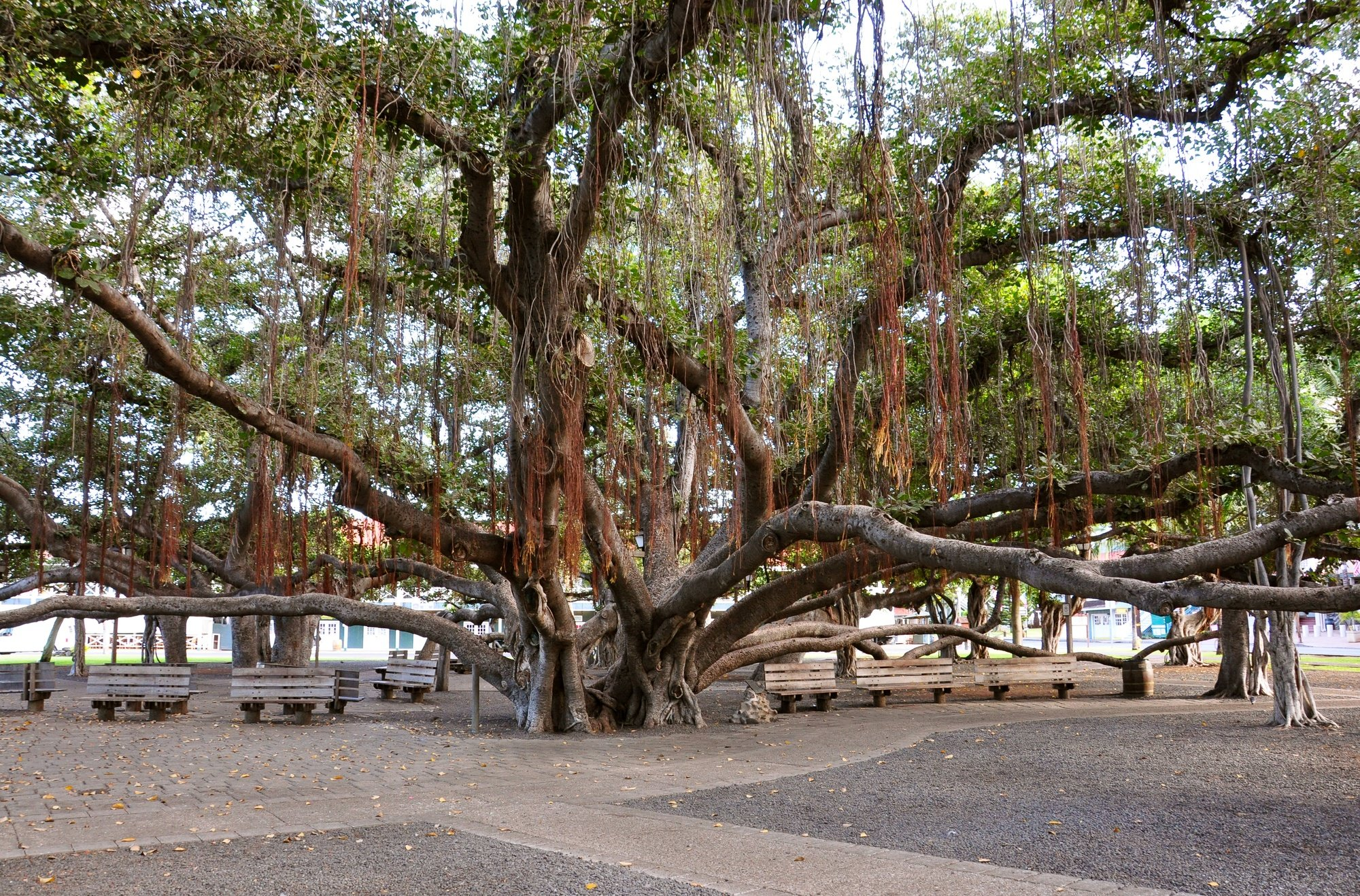 Lahaina Banyan Tree Park on Maui, Hawaii