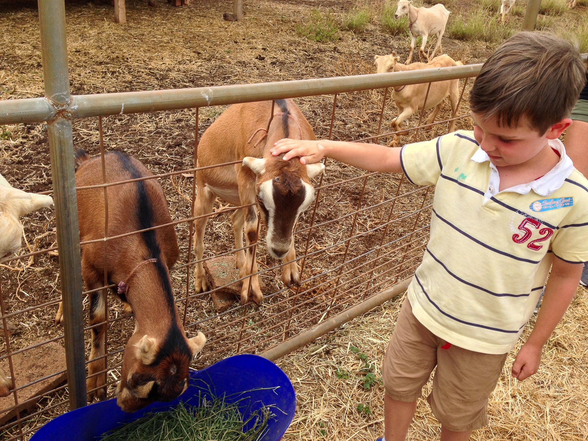 Little boy feeding goats at Surfing Goat Dairy