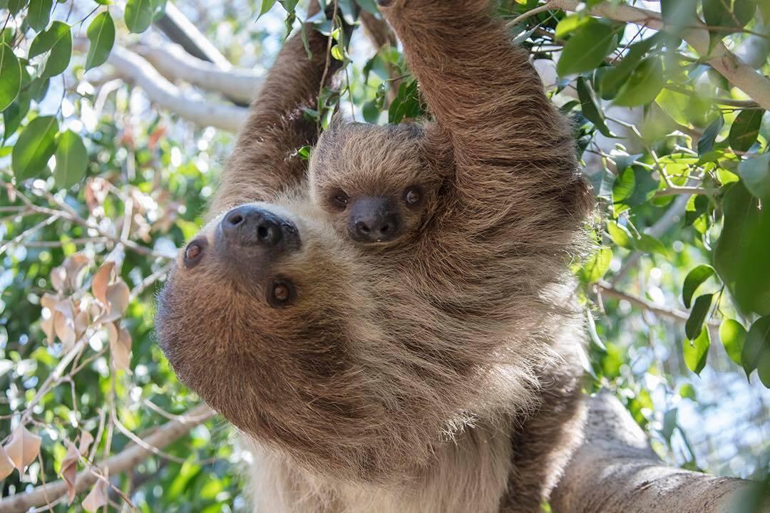 A mama sloth and a baby sloth at Santa Ana Zoo
