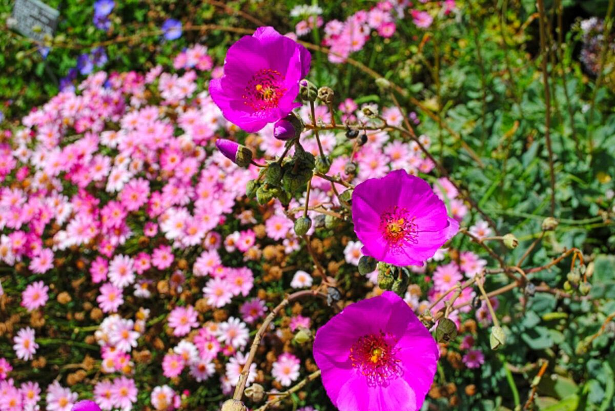 Pretty pink flowers at San Diego Botanic Garden