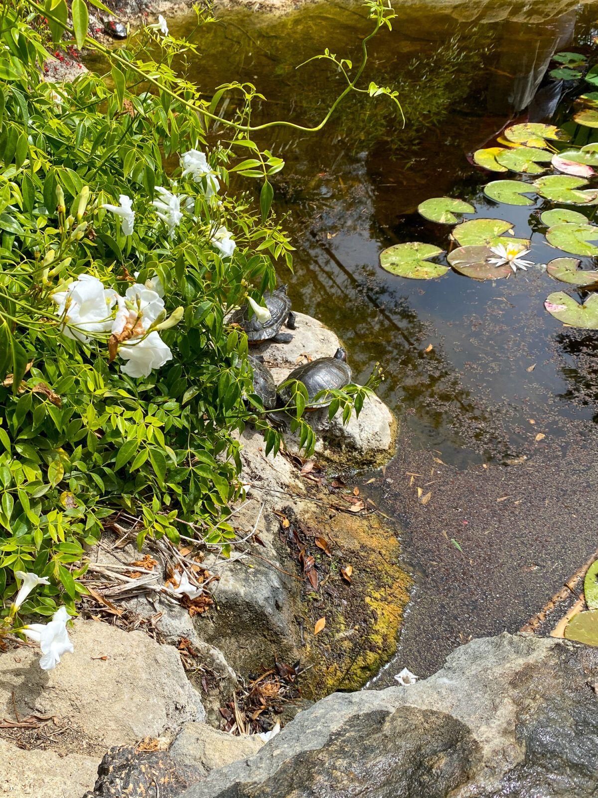 Turtles sunning themselves at the San Diego Botanic Garden Bamboo Pond