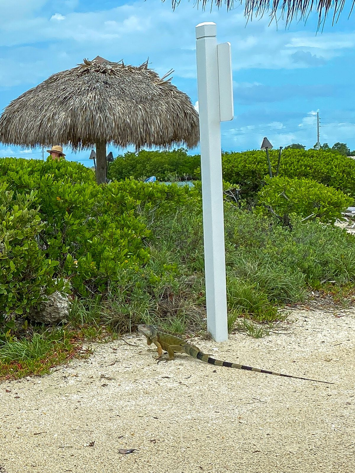 A wild iguana by the Saltwater Lagoon at Hawks Cay Resort