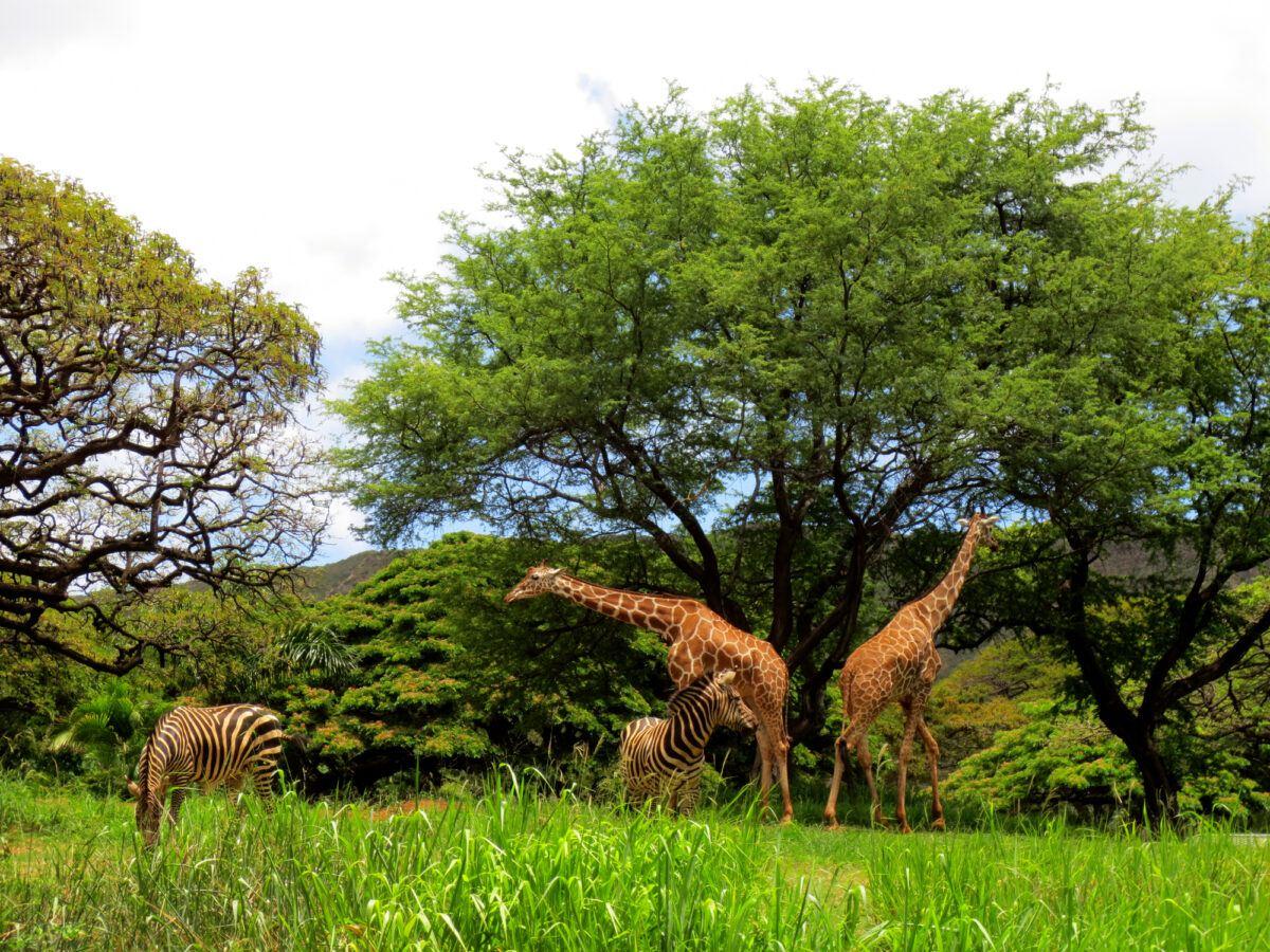 Giraffes and zebras at the Honolulu Zoo