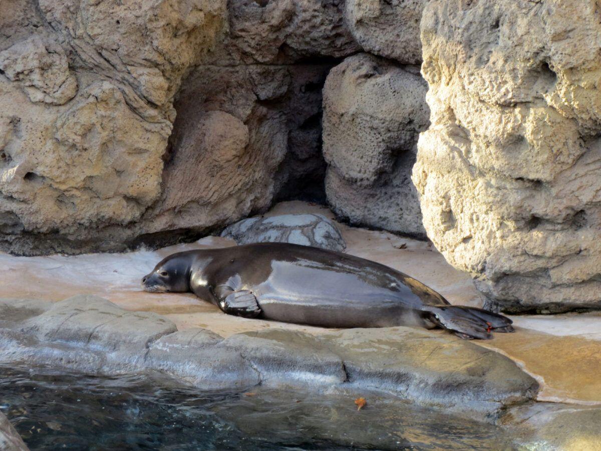Monk Seal at the Waikiki Aquarium on Oahu, Hawaii