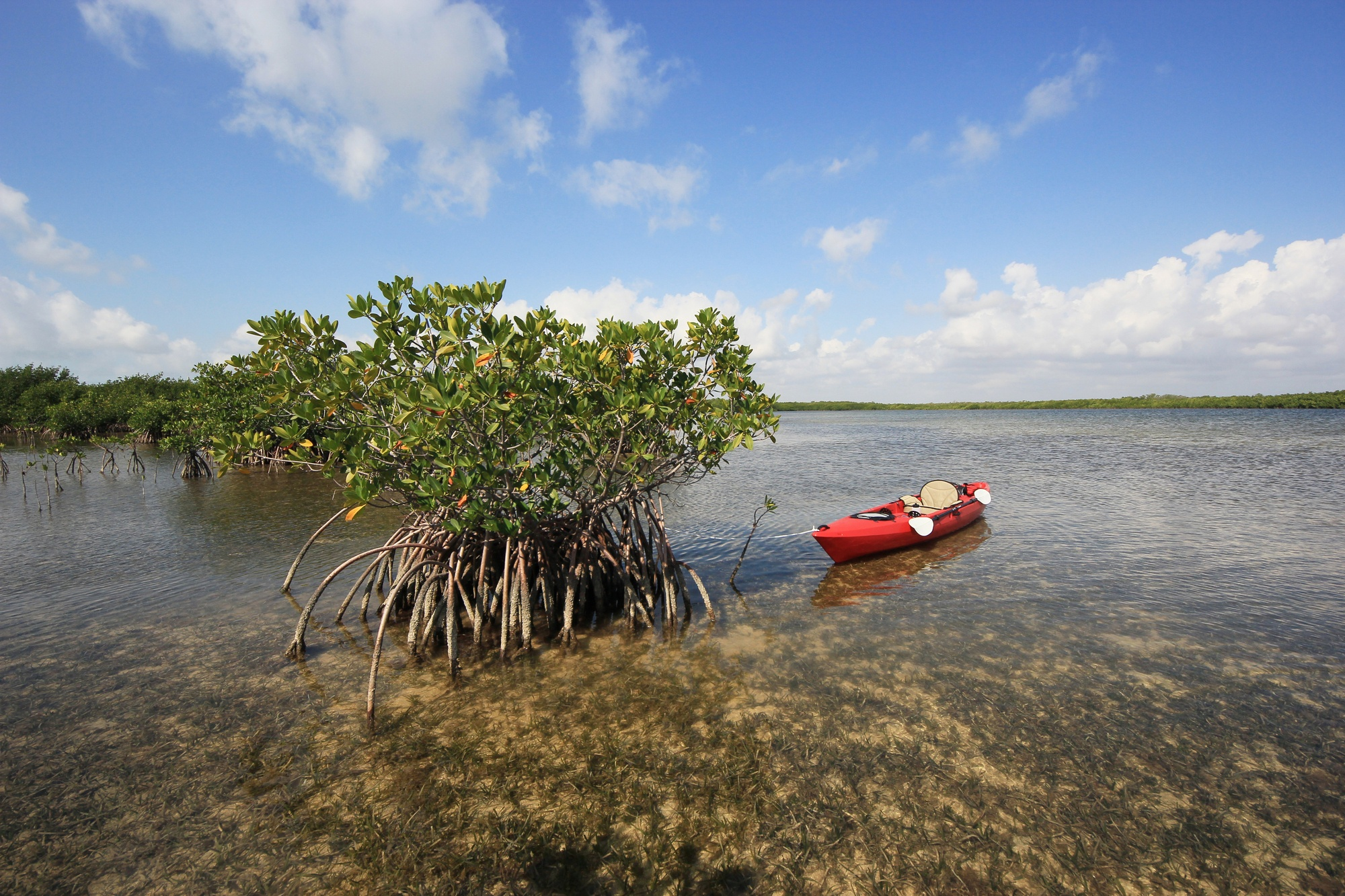 Kayak near a red mangrove tree on turtle grass beds in Biscayne National Park