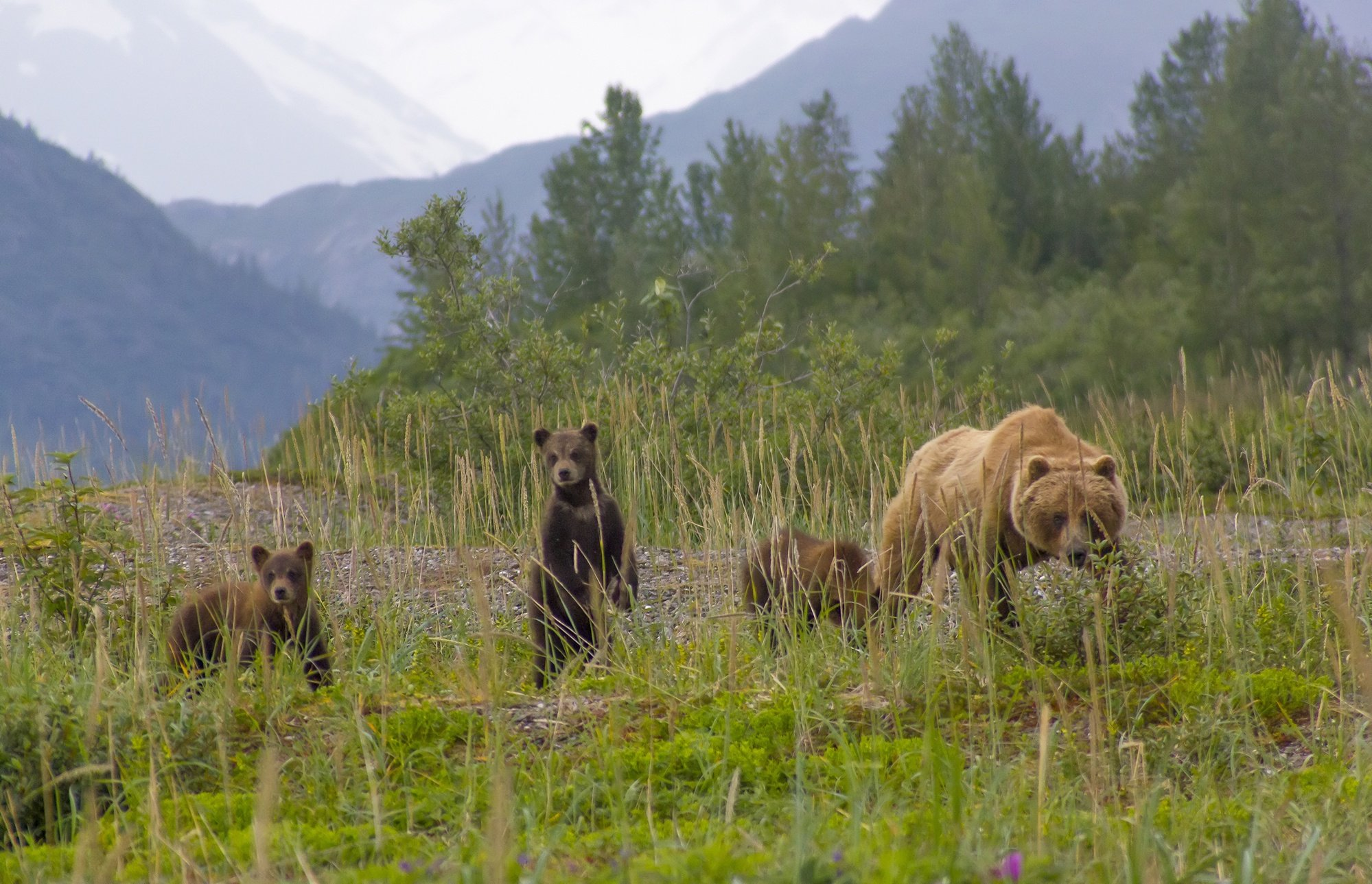 A family of brown bears in Glacier Bay National Park