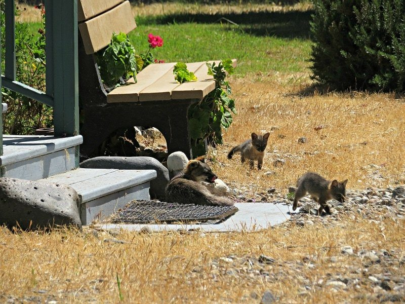 A family of island foxes on Santa Cruz Island in the Channel Islands National Park
