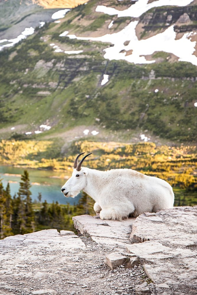 A mountain goat in Glacier National Park